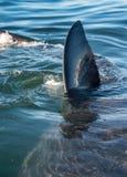 在飞翅鲨鱼水之上 一只大白鲨鱼(噬人鲨属carcharias)的特写镜头飞翅在海洋水中 免版税库存照片