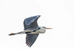 在飞行中一只灰色苍鹭 库存图片