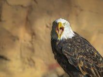 在飞行中一只白头鹰的画象(拉特 haliaeetus leucocephalu 免版税库存照片