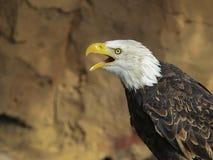 在飞行中一只白头鹰的画象(拉特 haliaeetus leucocephalu 免版税库存图片