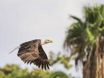 在飞行中一只白头鹰的画象(拉特 haliaeetus leucocephalu 库存照片