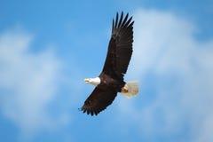在飞行中一只白头鹰 免版税库存图片