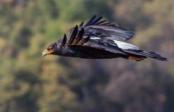在飞行中一只黑老鹰 库存照片