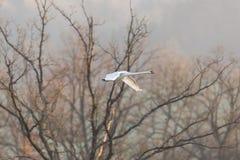 在飞行中一疣鼻天鹅天鹅座olor,不生叶的树,被涂的翼 图库摄影