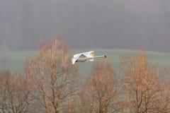 在飞行中一疣鼻天鹅天鹅座olor,不生叶的树 免版税库存照片