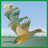 在飞行中三只鸭子 免版税库存照片