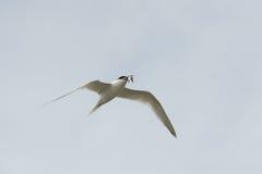 在飞行中三明治燕鸥 免版税图库摄影