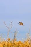 在飞行中东Meadowlark 免版税库存图片