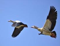 在飞行中两只埃及鹅 免版税库存图片