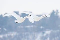 在飞行中两只野天鹅形成 免版税库存图片
