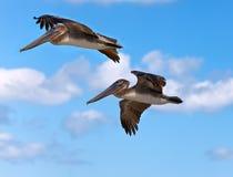 在飞行中两棕色鹈鹕 库存照片