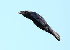 在飞行中乌鸦鸟 免版税库存照片