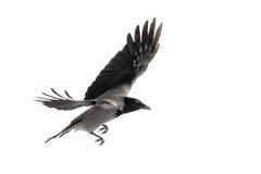 在飞行中乌鸦 免版税库存照片