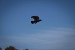 在飞行中乌鸦 库存图片