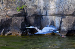 在飞行中伟大蓝色的苍鹭的巢, Ardea herodias 免版税图库摄影