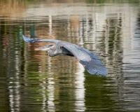 在飞行中伟大蓝色的苍鹭的巢 免版税库存图片