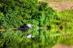 在飞行中伟大蓝色的苍鹭的巢 库存图片