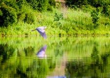 在飞行中伟大蓝色的苍鹭的巢 图库摄影