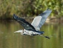 在飞行中伟大蓝色的苍鹭的巢 免版税库存照片