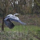 在飞行中伟大蓝色的苍鹭的巢 免版税图库摄影