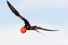 在飞行中充分的繁殖的全身羽毛的一只公军舰鸟 免版税库存照片