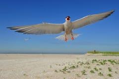 在飞行中公用燕鸥 库存图片