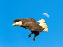在飞行中公白头鹰 免版税库存照片