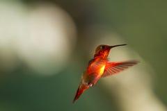 在飞行中公红宝石红喉刺莺的蜂鸟 库存图片