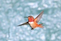 在飞行中公红褐色蜂鸟,绿色背景 库存图片