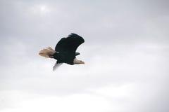 在飞行中公老鹰 免版税库存照片