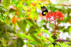 在飞行中共同的Birdwing蝴蝶 库存图片