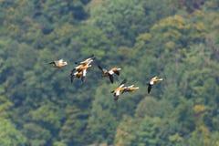 在飞行中几只红润shelduck雄麻鸭类ferruginea鸟 图库摄影