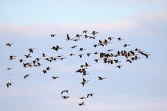 在飞行中加拿大鹅 免版税库存照片
