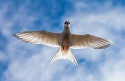 在飞行中北冰的燕鸥。 库存照片
