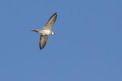 在飞行中双胸斑沙鸟鸟 免版税图库摄影