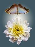 在飞行中变白的菊花和蓝色蝴蝶 图库摄影