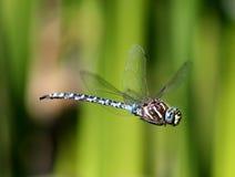 在飞行中可变的Darner蜻蜓 免版税库存图片