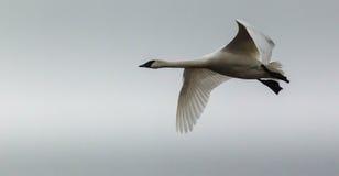 在飞行中唯一寒带苔原天鹅 图库摄影