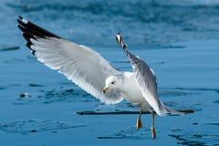 在飞行中圆环开帐单的海鸥 免版税库存照片