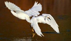 在飞行中在湖的水的两白色白鹭 免版税库存照片