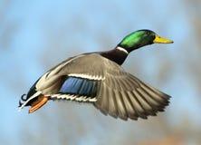 在飞行中在被弄脏的蓝天背景的野鸭德雷克 免版税库存照片