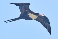在飞行中壮观的Frigatebird 免版税库存照片