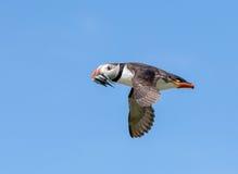 在飞行中大西洋海鹦 免版税库存图片
