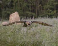 在飞行中大角枭;加拿大猛禽管理 库存照片