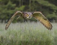 在飞行中大角枭;加拿大猛禽管理 免版税库存图片