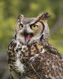 在飞行中大角枭;加拿大猛禽管理 图库摄影