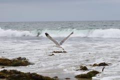 在飞行中太平洋海鸥 免版税库存照片