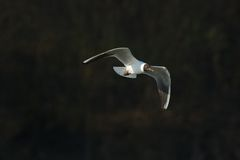 在飞行中孤独的海鸥 免版税库存照片