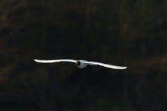 在飞行中孤独的海鸥 免版税库存图片