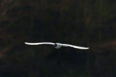 在飞行中孤独的海鸥 图库摄影